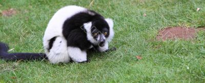 black and white Ruffed Lemur Varecia variegata