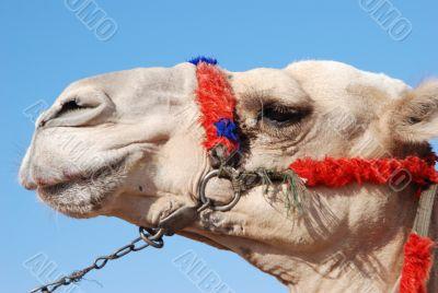 Camel`s muzzle in profile