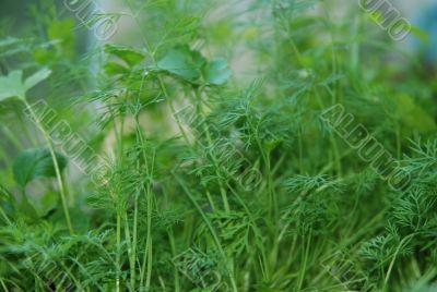 Dill fennel growth