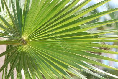 Palm leaf, round, beams
