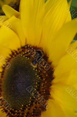 Beautiful yellow Sunflower with petals closeup.