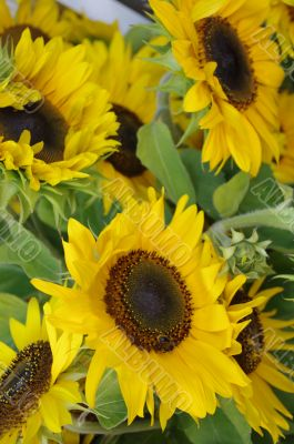 Beautiful fresh yellow Sunflower