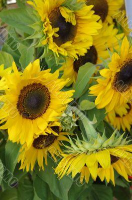 Beautiful fresh yellow Sunflower