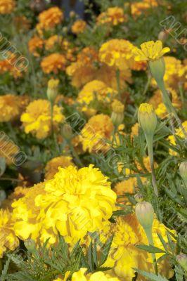 Yellow chernobrivets on flower bed