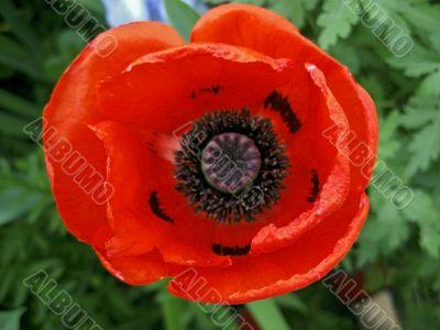 Red flower blossom in the garden