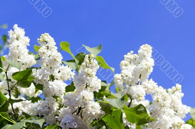Branches with flowers of white lilac
