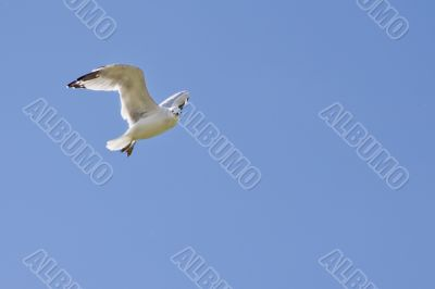 A white seagull flying up in the air