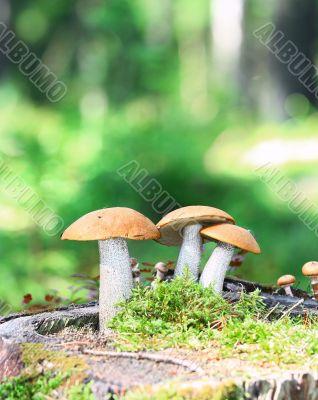 Orange Cap Boletus mushrooms