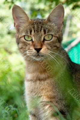 cat with long ears