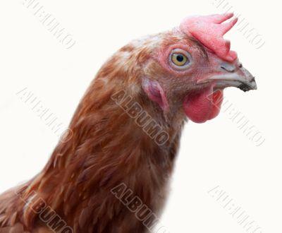 The big brown hen