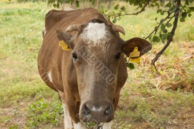 The brown horned cow
