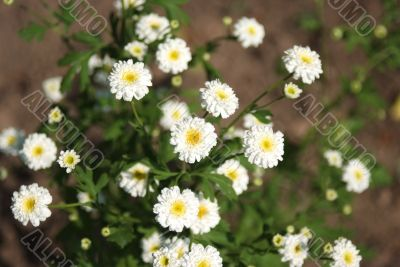 White flowers in soft focus