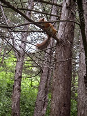 Red squirrel on the branch
