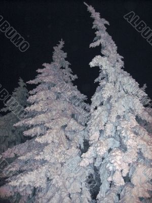 Fir trees under the snow. Christmas holidays