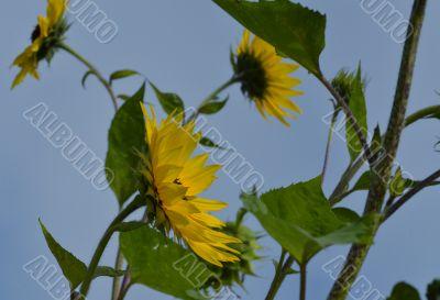 Sunflowers on a wind