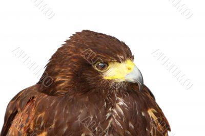 Harris Hawk or Bay Winged Hawk