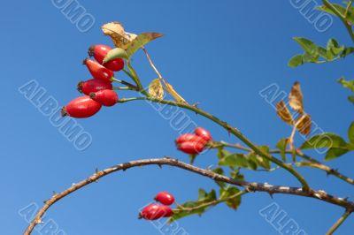 Red sweetbrier berries
