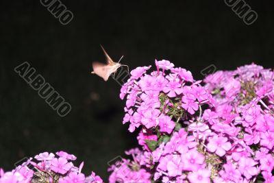 Moth - Night shooting