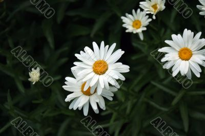 camomiles Flower