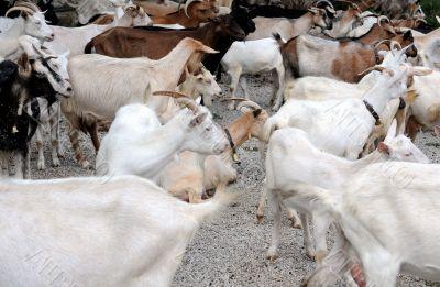 Herd of Dairy Goats