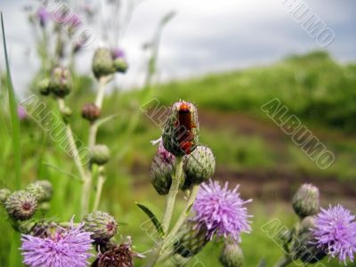 Red insect on the thistle