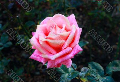 Flower a rose