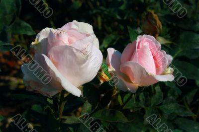 Fine rose