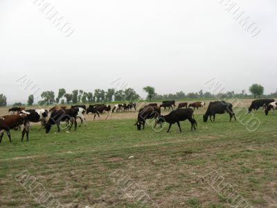cows grazing in the fields in pakistan