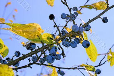 Ripe blackthorn fruits