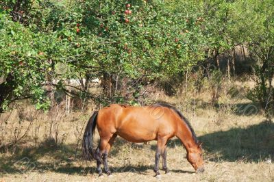 Horse under an apple tree, eating