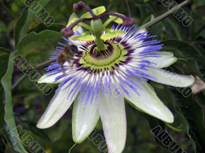 Passiflora in bloom. Brasil maraquja and the bee