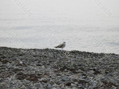 Sea gulls on the seashore