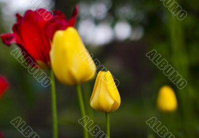 Tulip flowers on spring