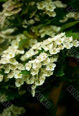 White flower blossom in the spring garden