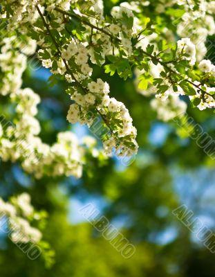 White flower blossom on sunshine in the garden