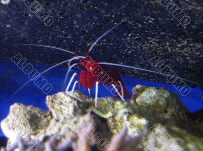 Red royal shrimp with a white moustache