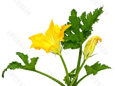 flower and leaf squash