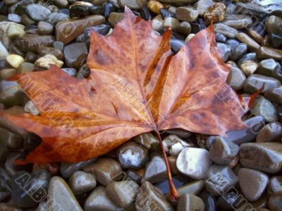 Fallen red leaf on the shore