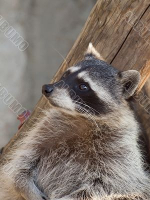 Raccoon in a zoo close-up