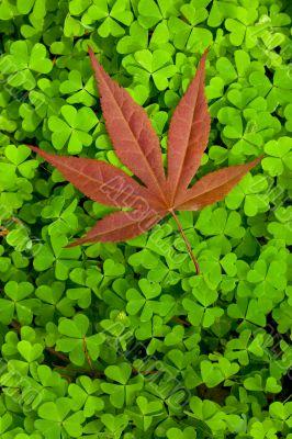 Leaf on clover