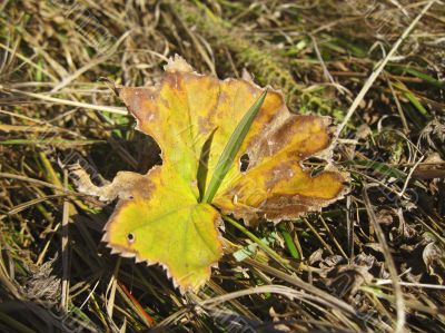 Old fallen leaf on the ground and new grass
