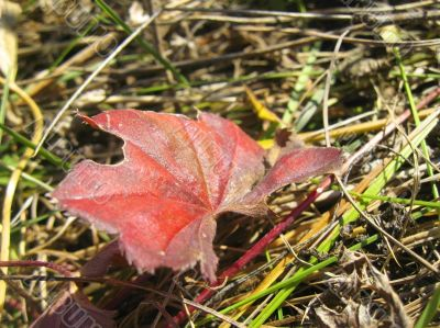 Red autumn leaf lay on the ground