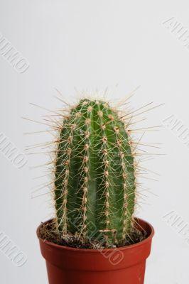 Cactus in crock