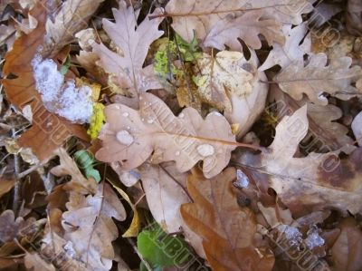 Fallen oak leaves on the ground and the snow