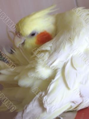 Parrot preens its feathers