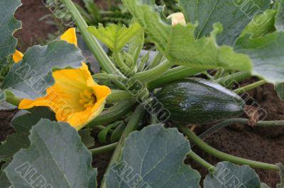 Little marrow type pumpkin and flower.