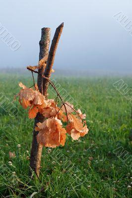 Oak bough