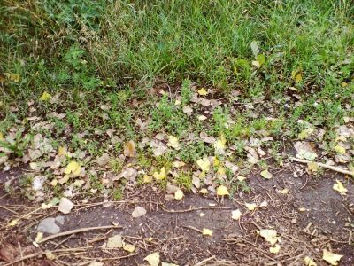 Fallen leaves and green grass. Fall coming