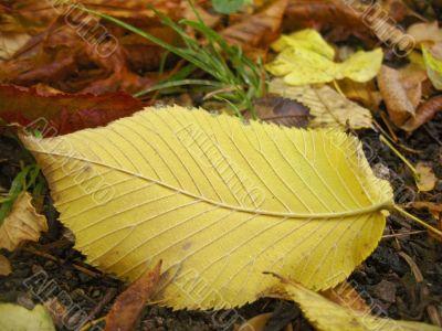 Yellow fallen leaf on the dark ground