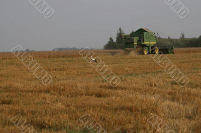 Stork in cornfield
